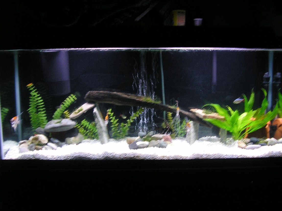 55 gallons freshwater fish tank (mostly fish and non-living decorations) - 55 gallon tank 5 angelfish,4columbian tetra,1rainbowshark,1pleco