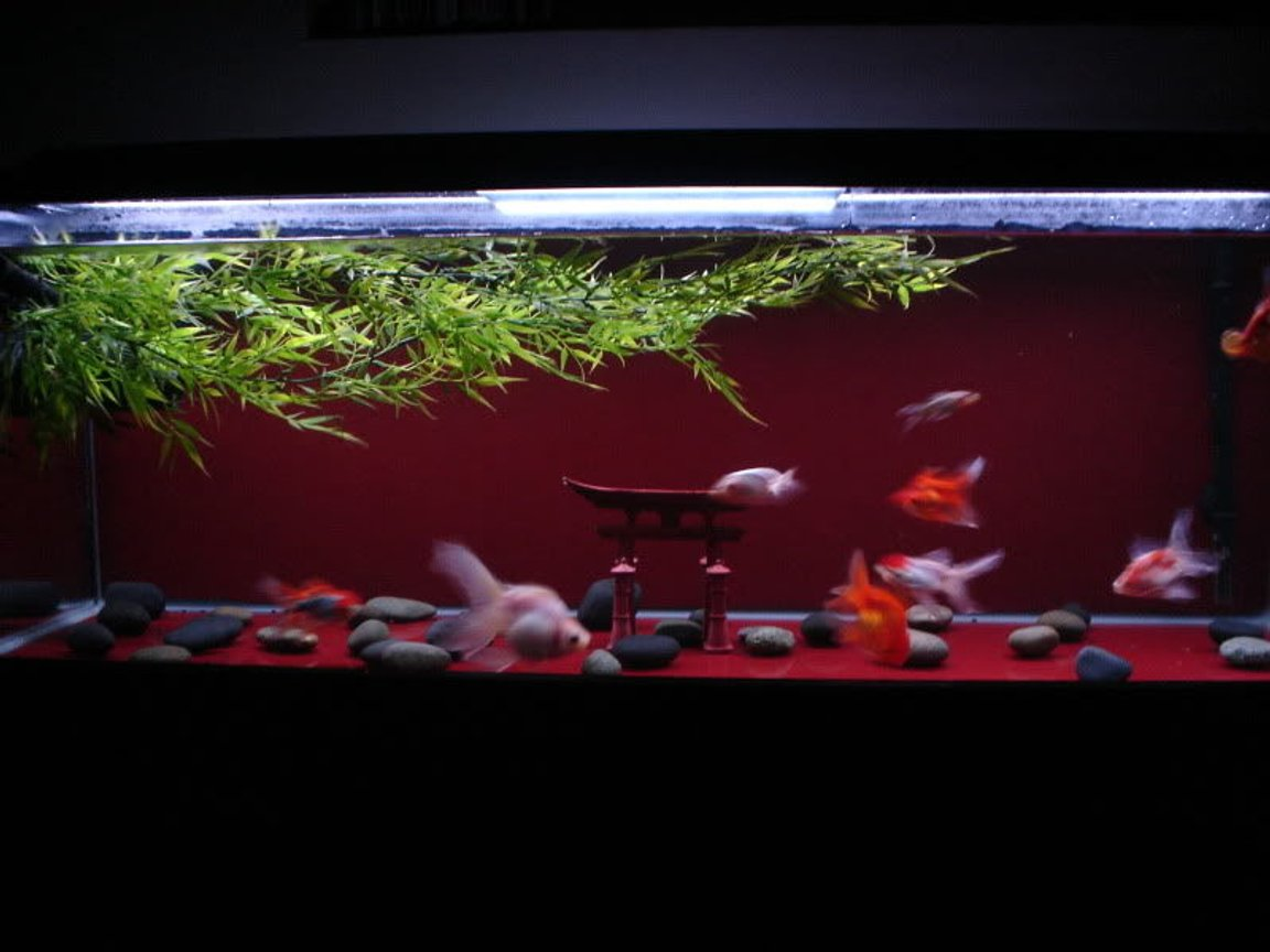 "60 gallons freshwater fish tank (mostly fish and non-living decorations) - My 60g goldfish ""Zen"" tank."