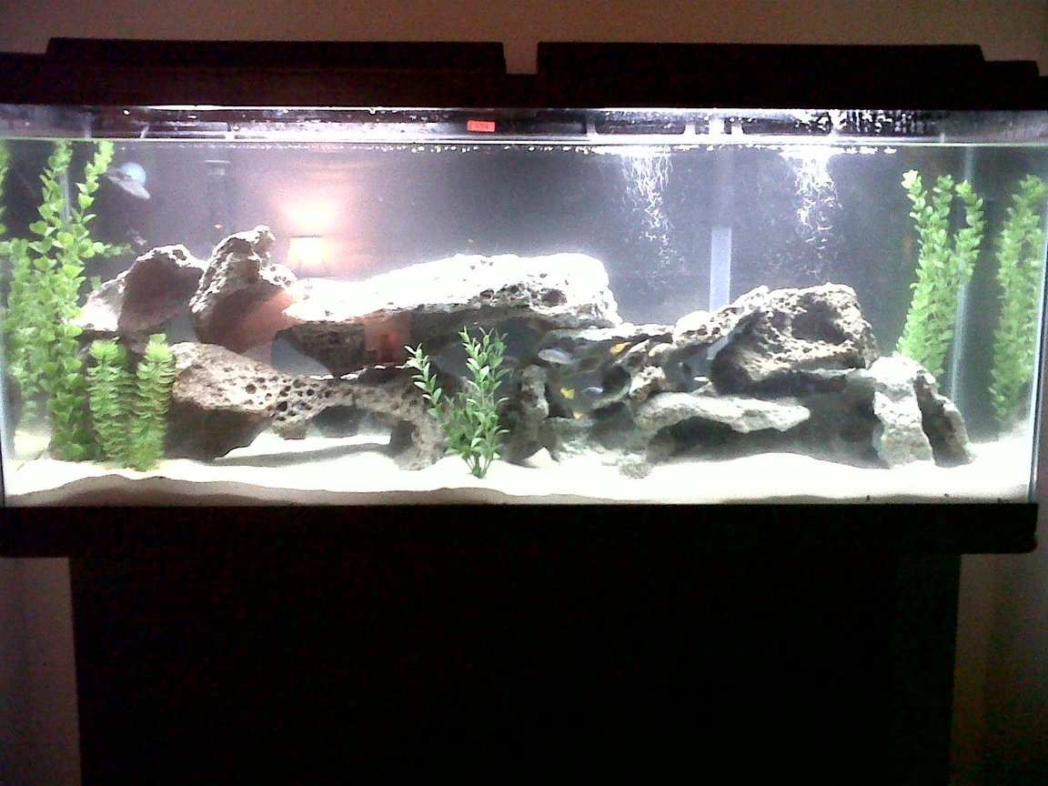 55 gallons freshwater fish tank (mostly fish and non-living decorations) - Cichlid Tank