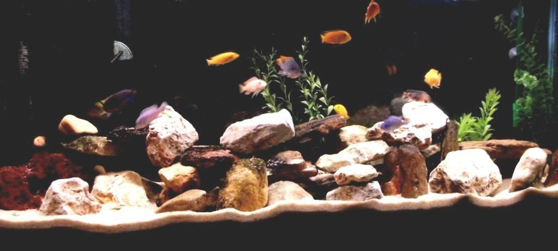 55 gallons freshwater fish tank (mostly fish and non-living decorations) - Current 55 Gallon Mbuna tank as of 14 Sep 2010