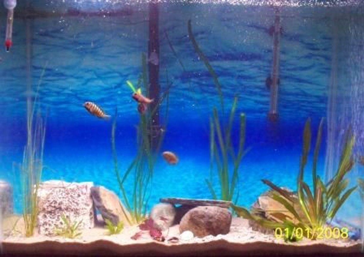 46 gallons freshwater fish tank (mostly fish and non-living decorations) - Tropheus Moorii and Eretmodus Tank 37 gallon