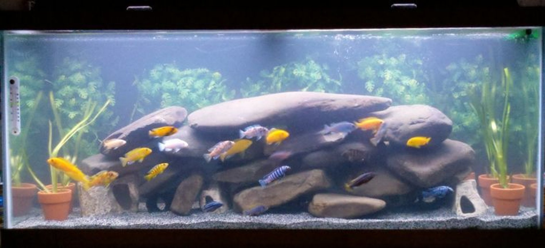 75 gallons freshwater fish tank (mostly fish and non-living decorations) - mbuna aquarium