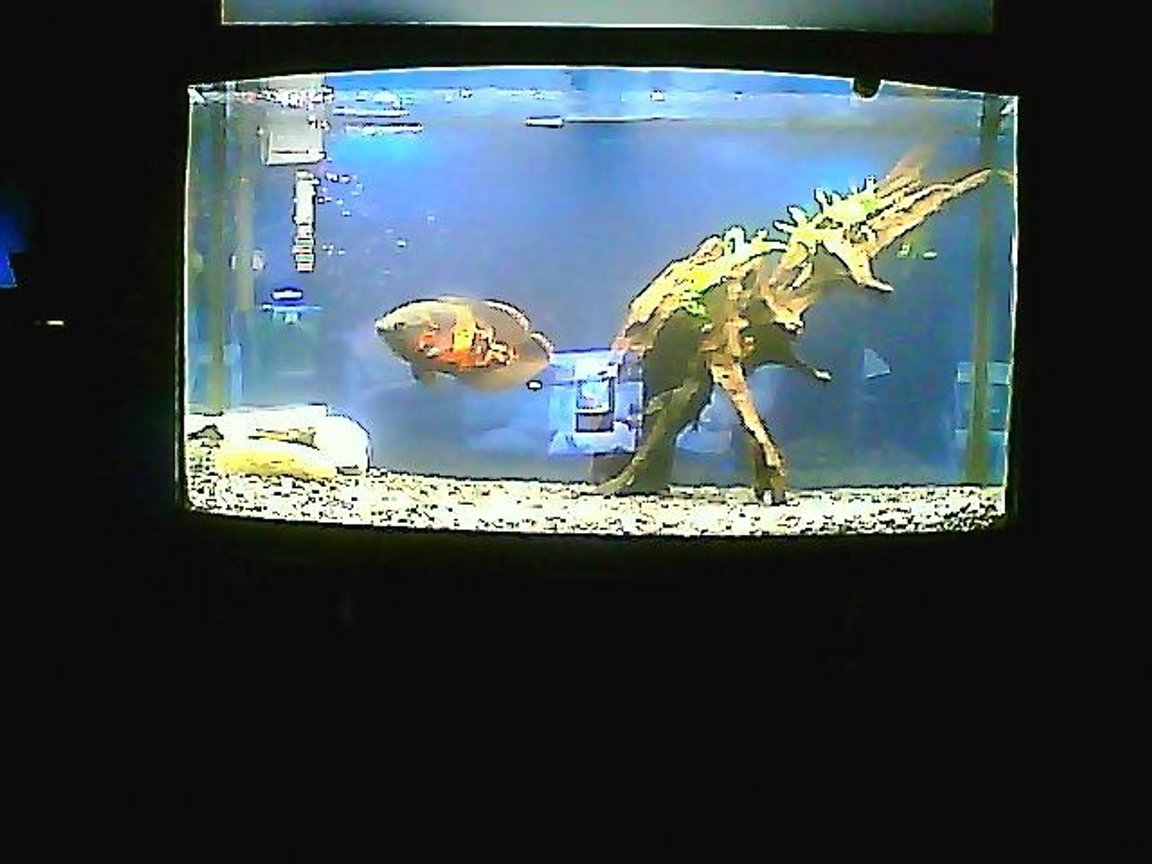 3 gallons freshwater fish tank (mostly fish and non-living decorations) - glenn the tiger oscar, who is a homosexual
