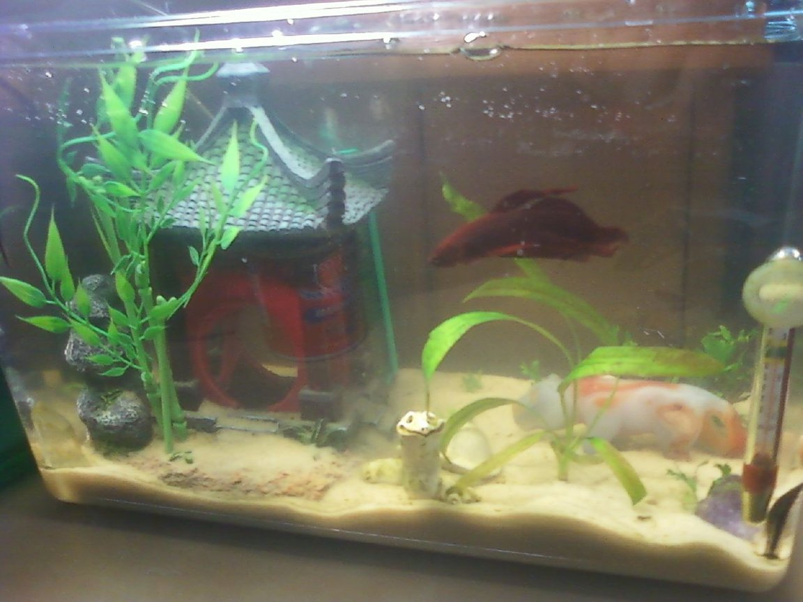 65 gallons freshwater fish tank (mostly fish and non-living decorations) - 4.5 gallon Zen temple theme. Houses one Betta and one Oto.