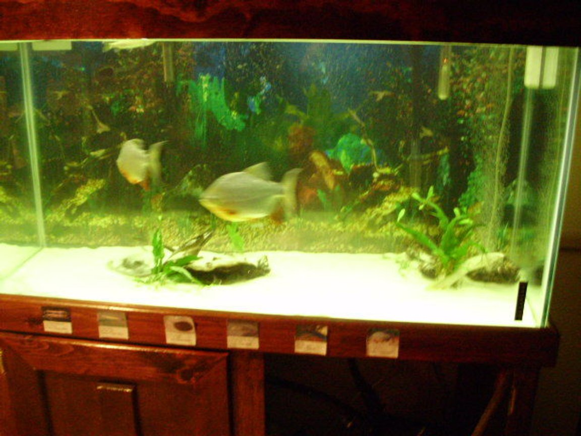 90 gallons freshwater fish tank (mostly fish and non-living decorations) - stingray in lower right. picture quality terrible. eels are hiding under wood. 90 gallon fresh water.