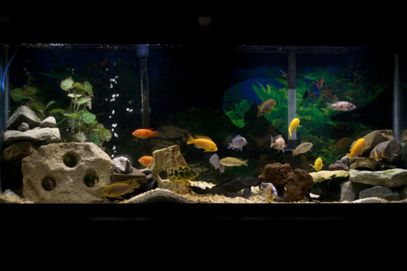 55 gallons freshwater fish tank (mostly fish and non-living decorations) - My 55 gallon African cichlid tank.