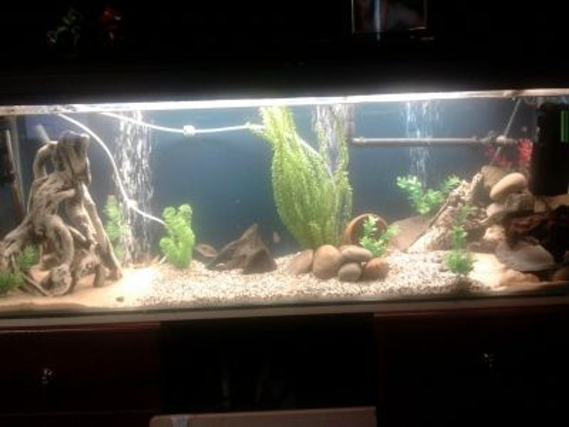 "60 gallons freshwater fish tank (mostly fish and non-living decorations) - Hi all, my tank is a 4x3x3ft with 10mm glass, my lighting is 1 42"" T8 tube which is a oceanic flora for now and have a 72LED strip blue for moonlighting, my filtration is 1 Rena filstar XP3 external and 1 fluval 3+ internal and a 200w elite heater, been in the hobby for around 5 years and still cant get this tank to look the way i want haha, oh and i have 2 dual outlet airpumps running on airstones :)"