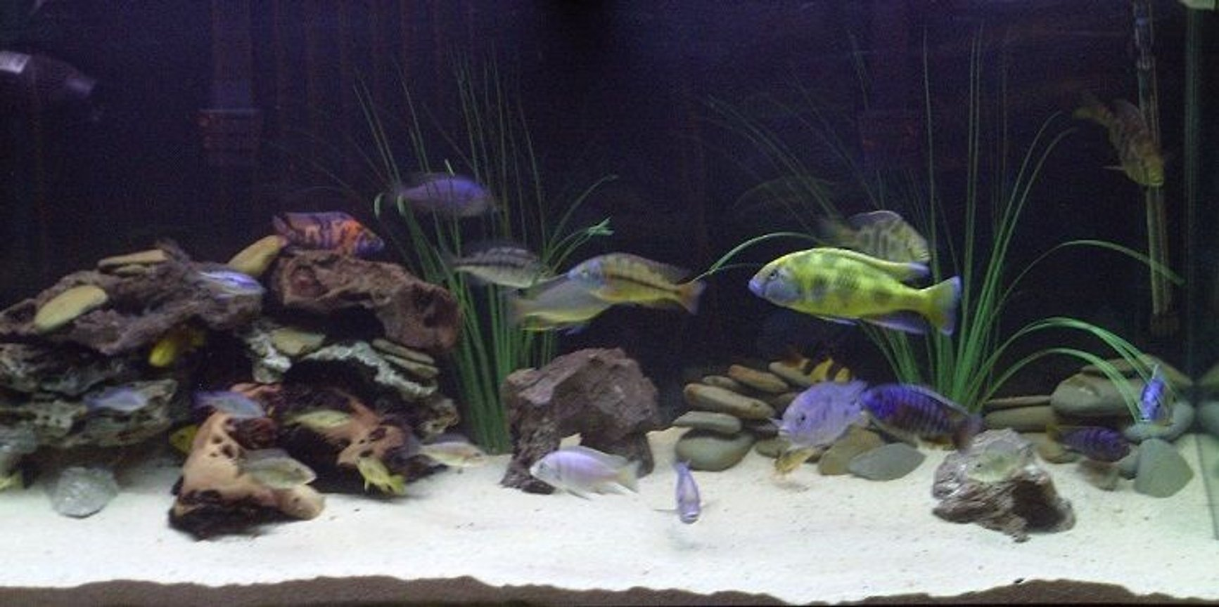 90 gallons freshwater fish tank (mostly fish and non-living decorations) - My mixed African Cichlid aquarium.
