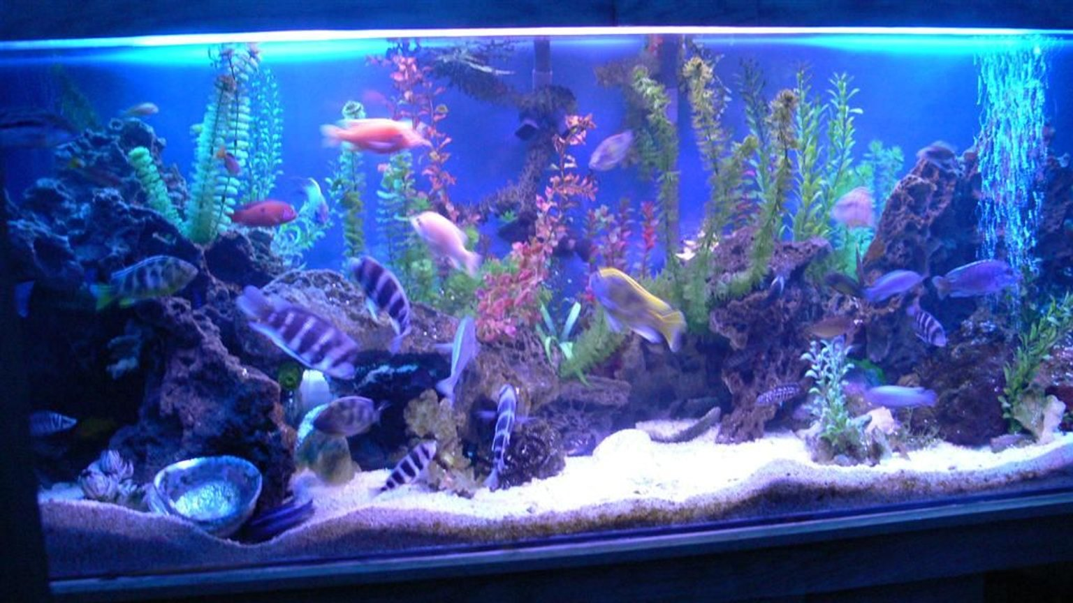 300 gallons freshwater fish tank (mostly fish and non-living decorations) - 1200L(300Gal) tank with 90 african cichlids.
