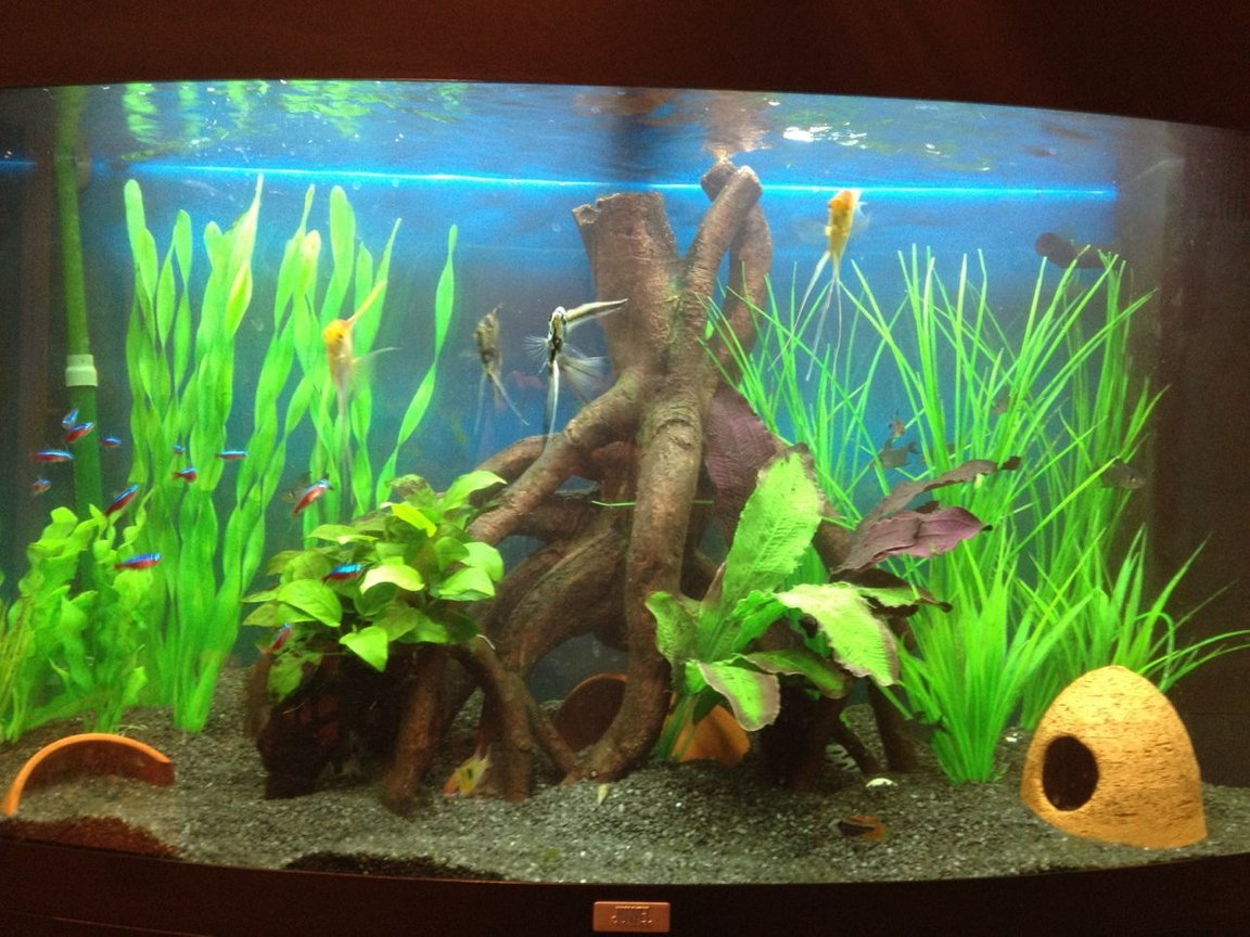 45 gallons freshwater fish tank (mostly fish and non-living decorations) - Juwel vision 180 Freshwater Tropical Eheim Ecco 2232 Canister Juwel Internal Established 6 Months 4 Small Angels 15 Plump Cardinals 10 Phantom Tetras 3 Panda Corys Pair of Rams