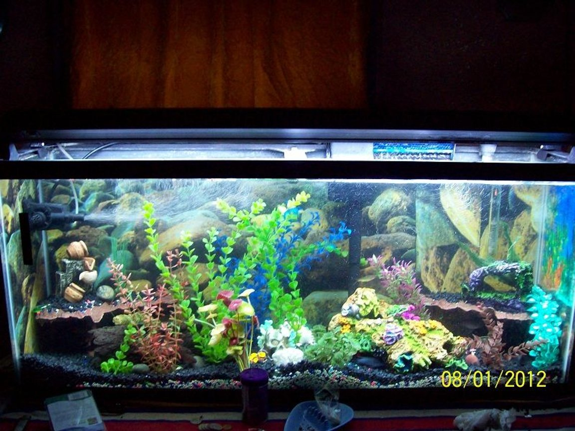 55 gallons freshwater fish tank (mostly fish and non-living decorations) - Morning Lighting For Fish 10k super daylight