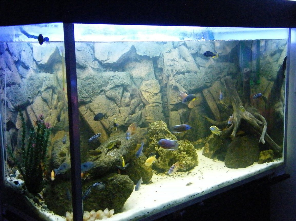 150 gallons freshwater fish tank (mostly fish and non-living decorations) - My 150Gal(600L) African Cichlid aquarium.