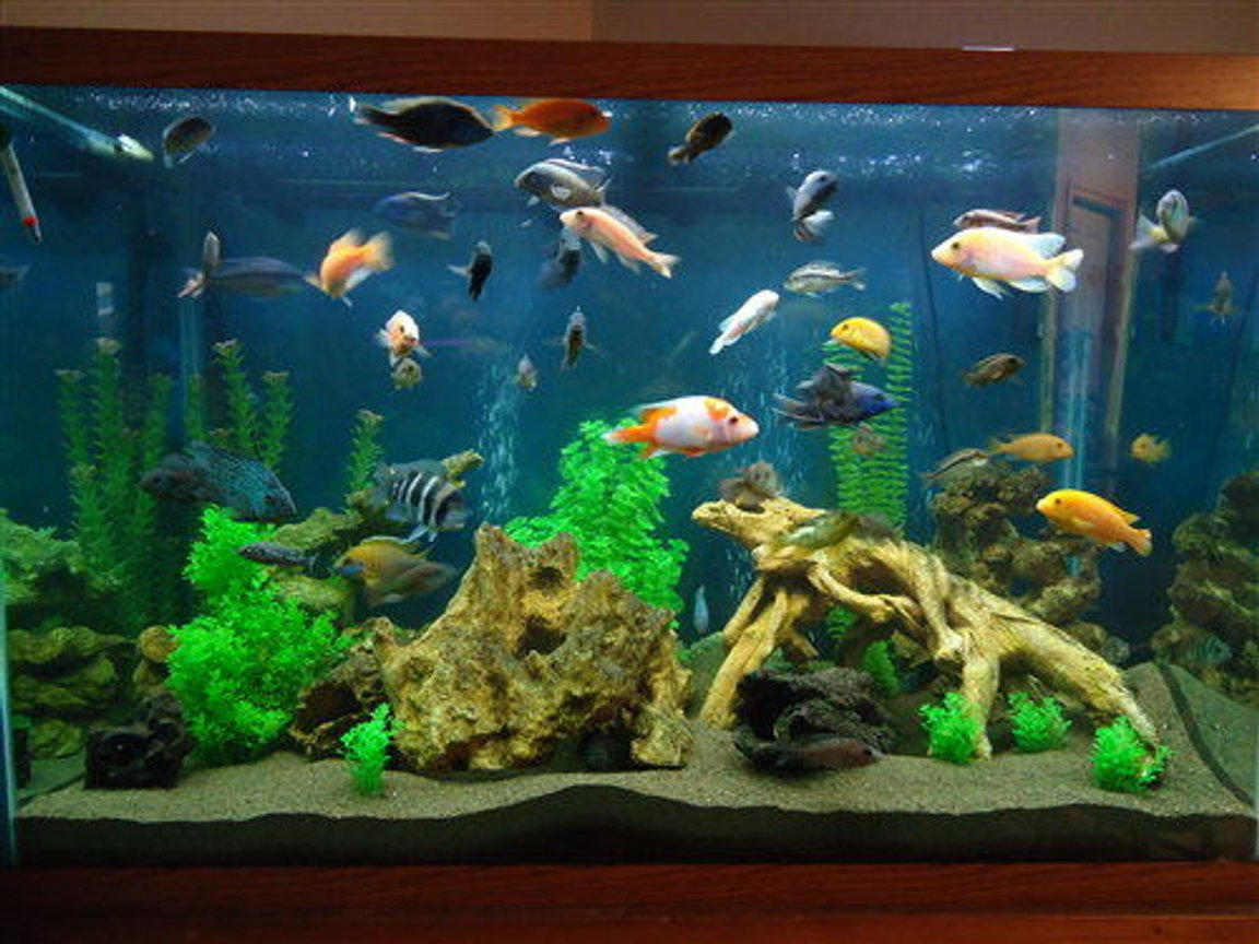 150 gallons freshwater fish tank (mostly fish and non-living decorations) - 150 gallon mixed cichlid