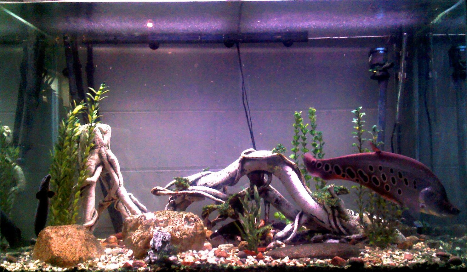 "150 gallons freshwater fish tank (mostly fish and non-living decorations) - 150 gallon fresh with ~20"" clown knife, 22"" fire eel, 8"" standard bichir and 10"" pleco."