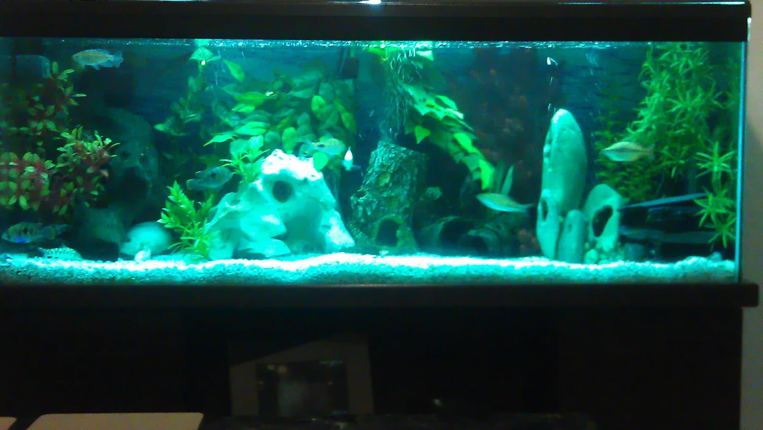 55 gallons freshwater fish tank (mostly fish and non-living decorations) - 4ft cichlid tank ,55 gallons