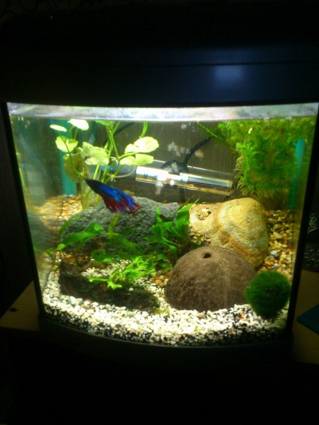 147 gallons freshwater fish tank (mostly fish and non-living decorations) - 1ftx1ftx1ft tank Male Fighter fish Japonica shrimp