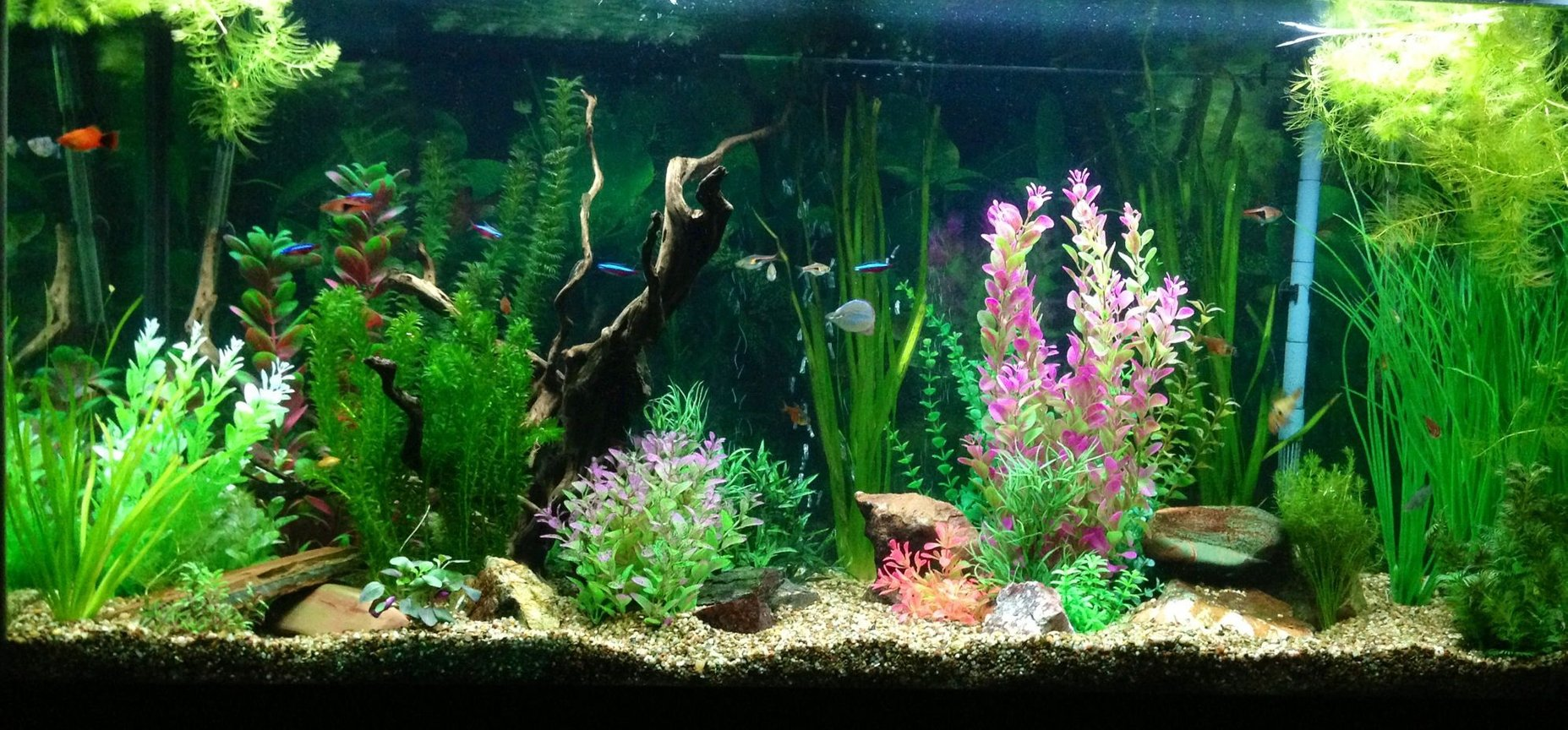 90 gallons freshwater fish tank (mostly fish and non-living decorations) - My tank