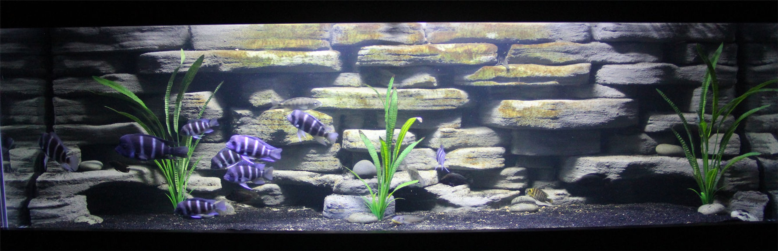 125 gallons freshwater fish tank (mostly fish and non-living decorations) - 125 Gallon with Custom built background