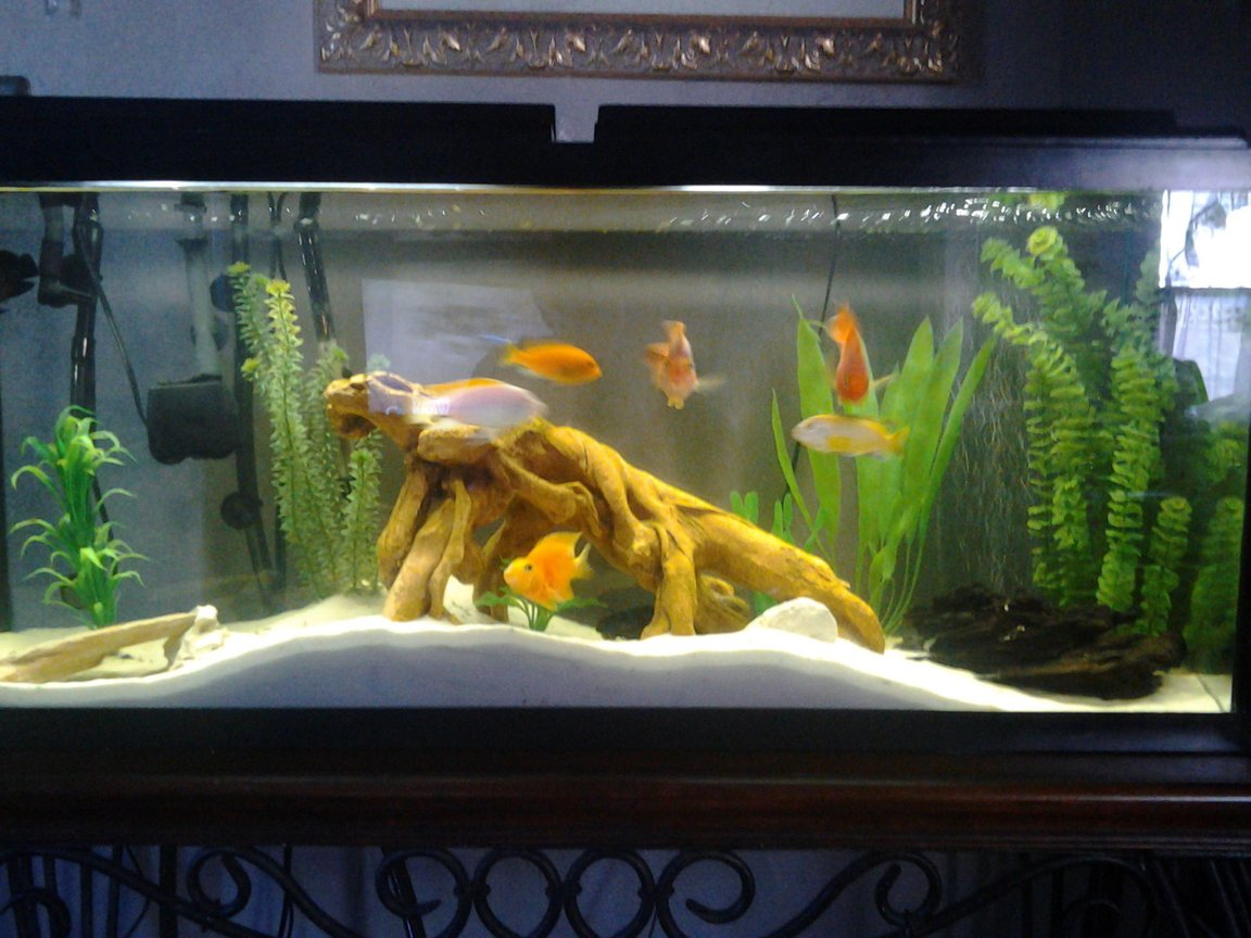 55 gallons freshwater fish tank (mostly fish and non-living decorations) - white sand, drift wood, white rocks, fake plant decorations, nexx filter, 3 African Cichlids, 4 blood parrots, Common pleco