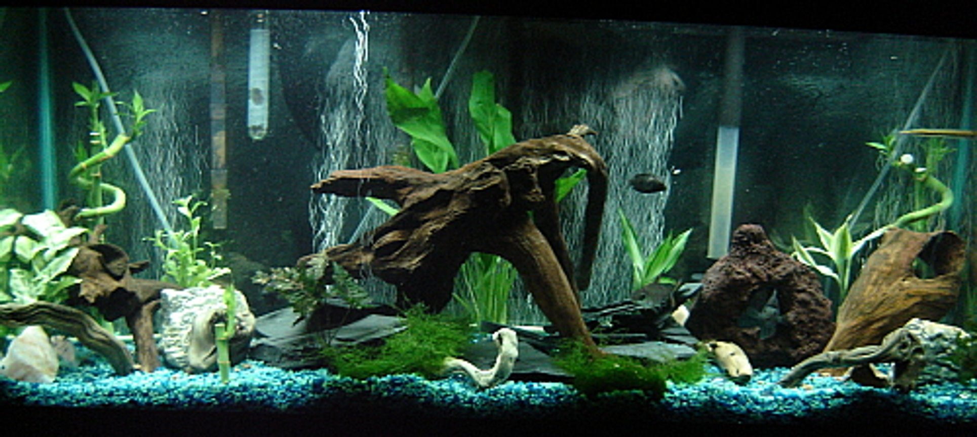 55 gallons freshwater fish tank (mostly fish and non-living decorations) - South American Cichlid Tank. Natural driftwood, slate, lava rock, live plants.
