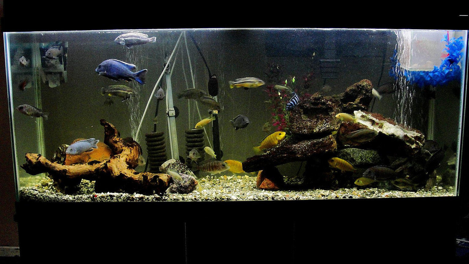 55 gallons freshwater fish tank (mostly fish and non-living decorations) - Note - cool feature in the mid-section of the tank, the cichlids are in a circle formation. 55 Gallon Cichlid Tank, w/ Breeder Net. I have a great picture of a pair spawning