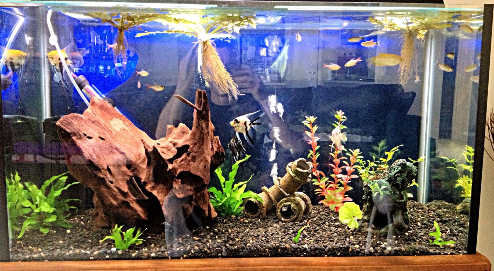 45 gallons freshwater fish tank (mostly fish and non-living decorations) - 3 foot community tank with angels, gouramis, red eye tetras, red blue columbian tetras & bristlenose catfish