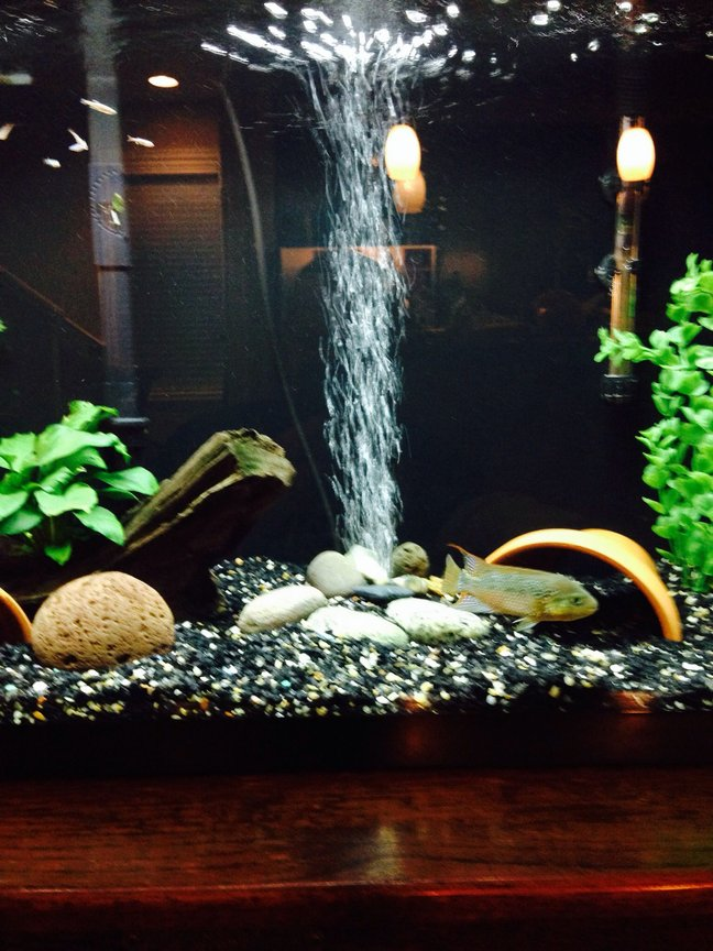 29 gallons freshwater fish tank (mostly fish and non-living decorations) - 29 grow out