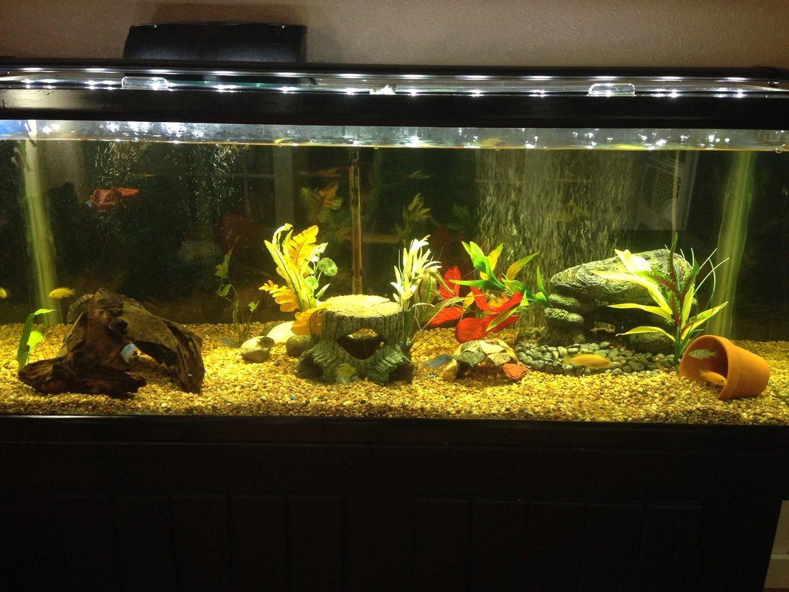 75 gallons freshwater fish tank (mostly fish and non-living decorations) - Cichlid tank