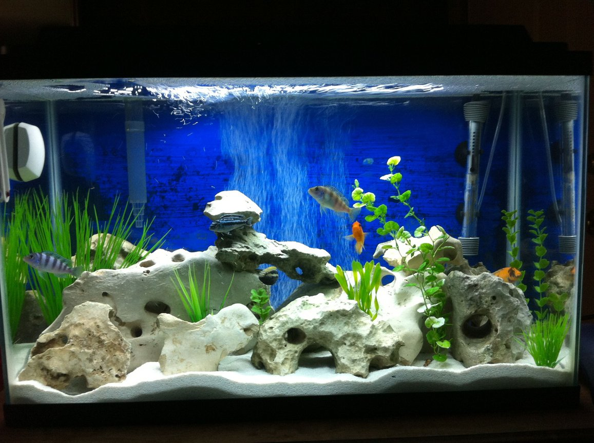 29 gallons freshwater fish tank (mostly fish and non-living decorations) - Real Texas holey rock African cichlid tank