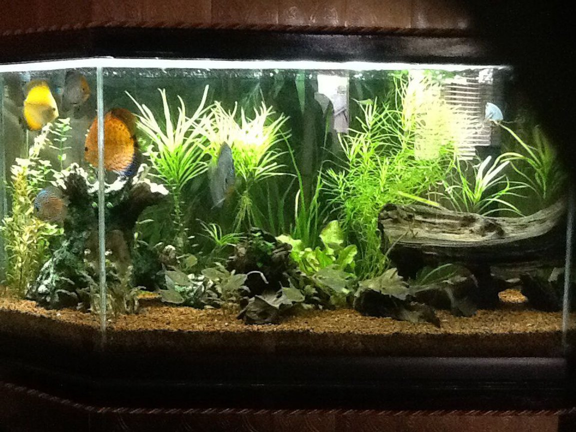 65 gallons freshwater fish tank (mostly fish and non-living decorations) - 65 gal discus tank. Discus, Diamond Tetras, Otos, Bristlenose Plecos, Amano Shrimp