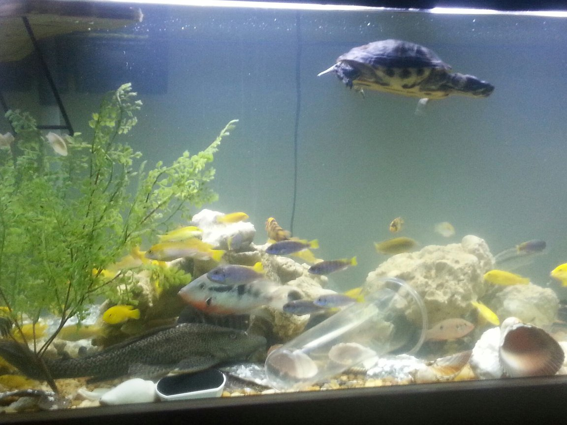 126 gallons freshwater fish tank (mostly fish and non-living decorations) - Happy fish
