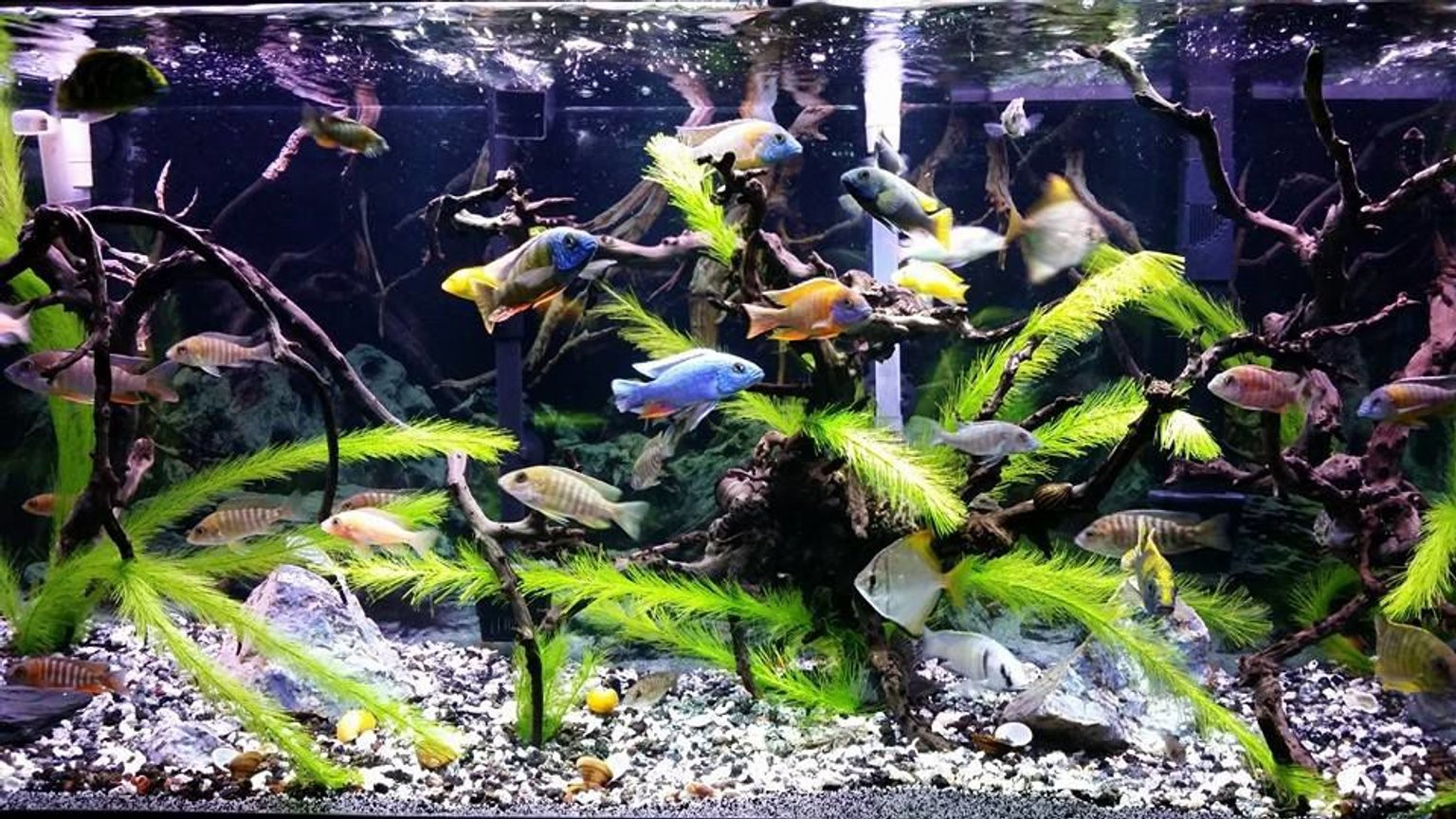 90 gallons freshwater fish tank (mostly fish and non-living decorations) - My 90g Peacock / Hap tank