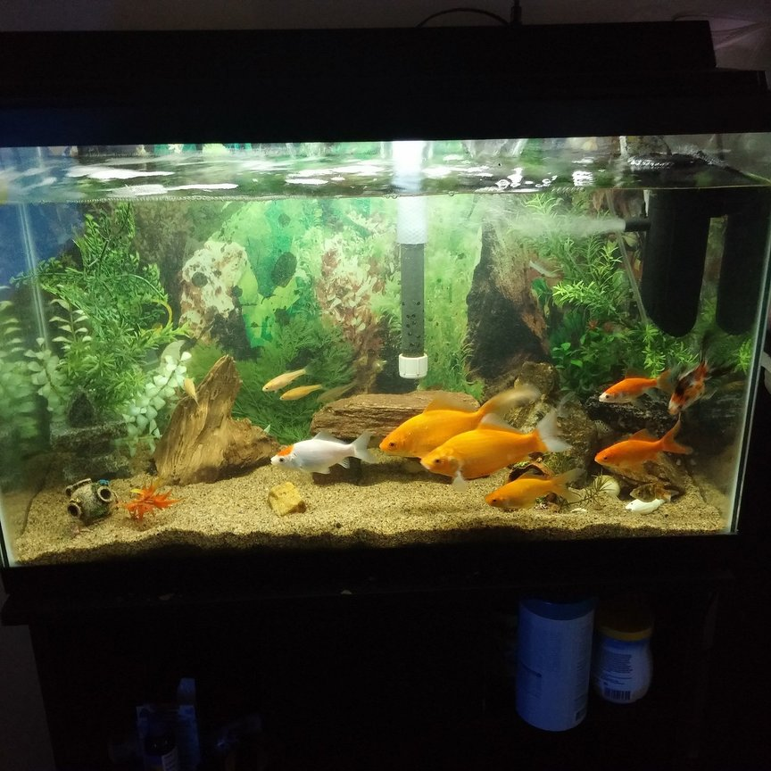 Photo 2 My Goldfish Tank Its A 40 Gallon Tank I Have A Fe I found this shelving unit from lowe's that fits two 40 gallon breeder tanks perfectly. my goldfish tank its a 40 gallon tank i