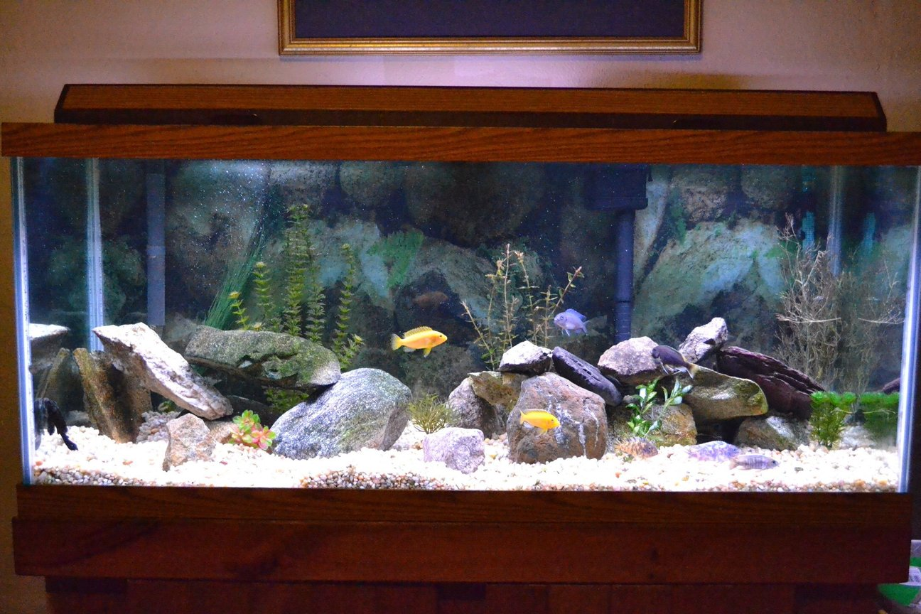 75 gallons freshwater fish tank (mostly fish and non-living decorations) - 75 gallon African Cichlid tank, mostly from lake Malawi. 10 Fish total (not all visible)