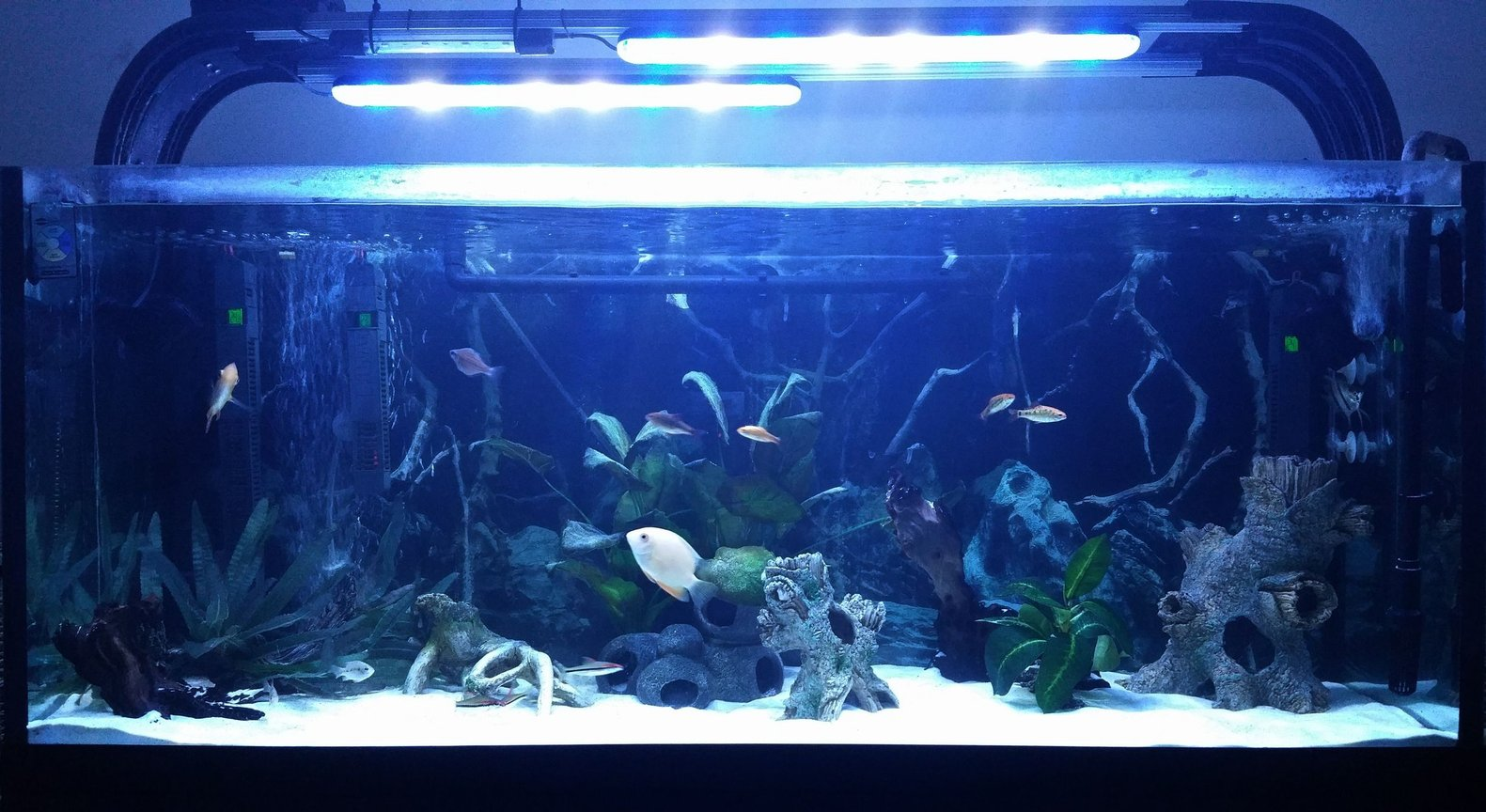52 gallons freshwater fish tank (mostly fish and non-living decorations) - Gold Severum Tank