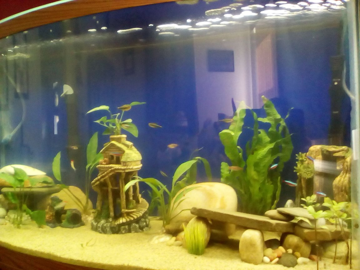46 gallons freshwater fish tank (mostly fish and non-living decorations) - 46gal Bowfront Tank
