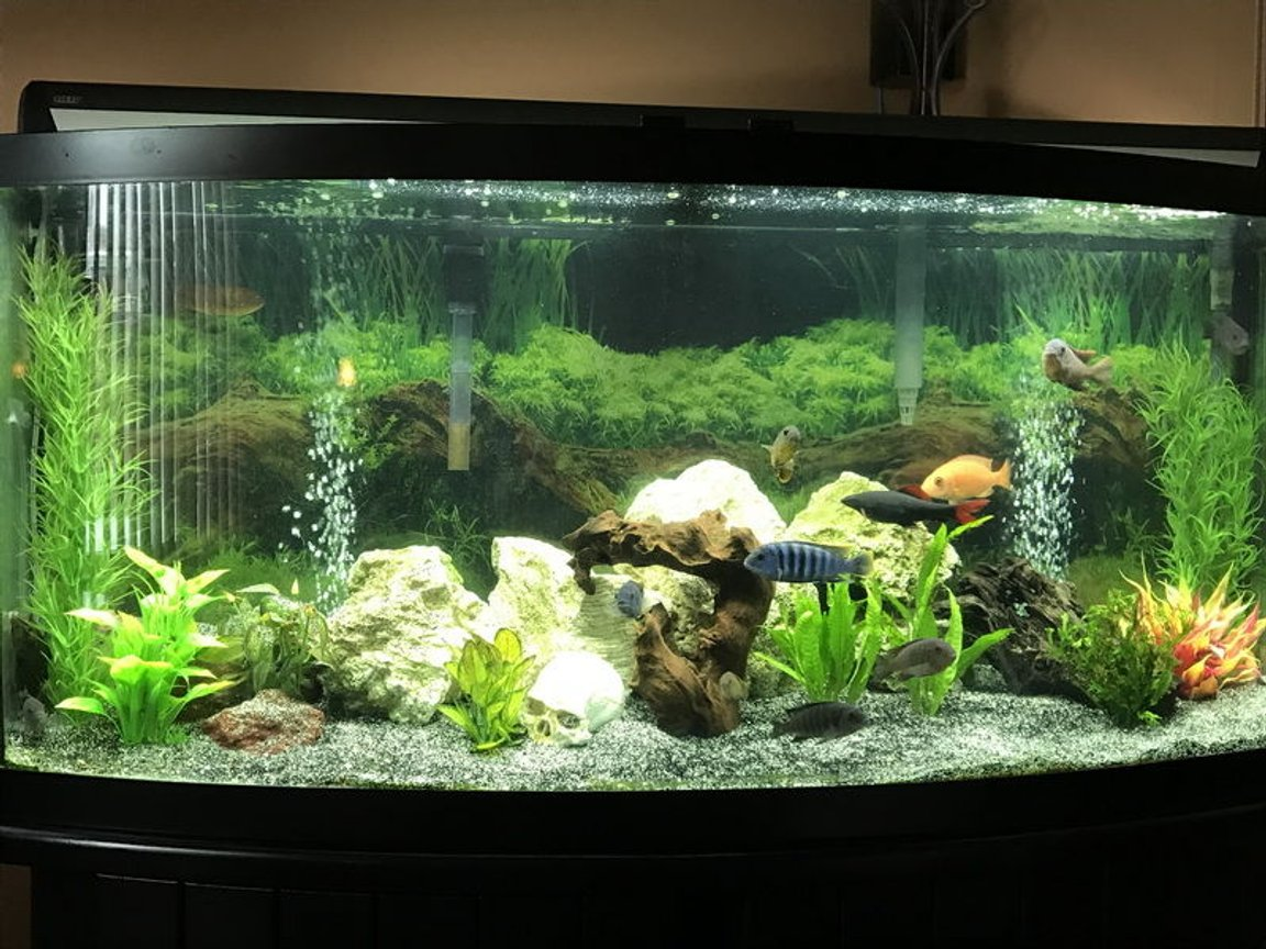 60 gallons freshwater fish tank (mostly fish and non-living decorations) - My 60 gallons tank,with African Cichild