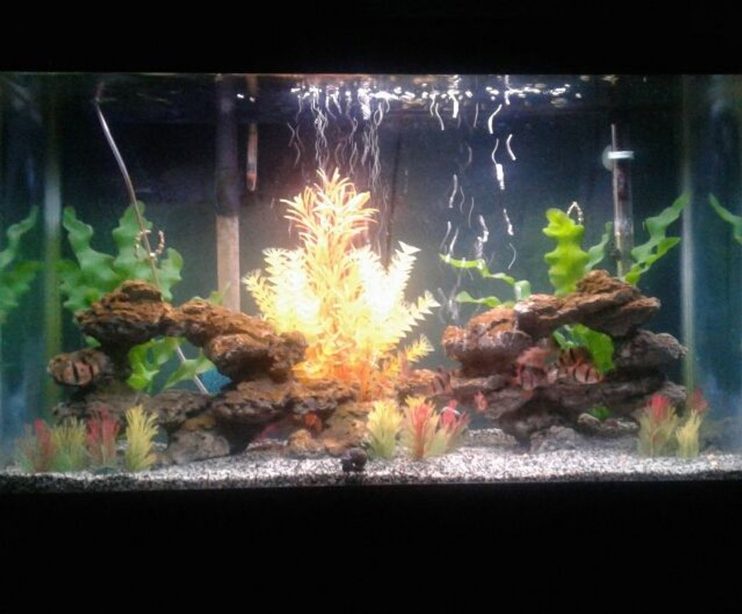 29 gallons freshwater fish tank (mostly fish and non-living decorations) - Houses tiger barbs and one mystery snail. Mixed sand substrate and artificial rocks and plants.