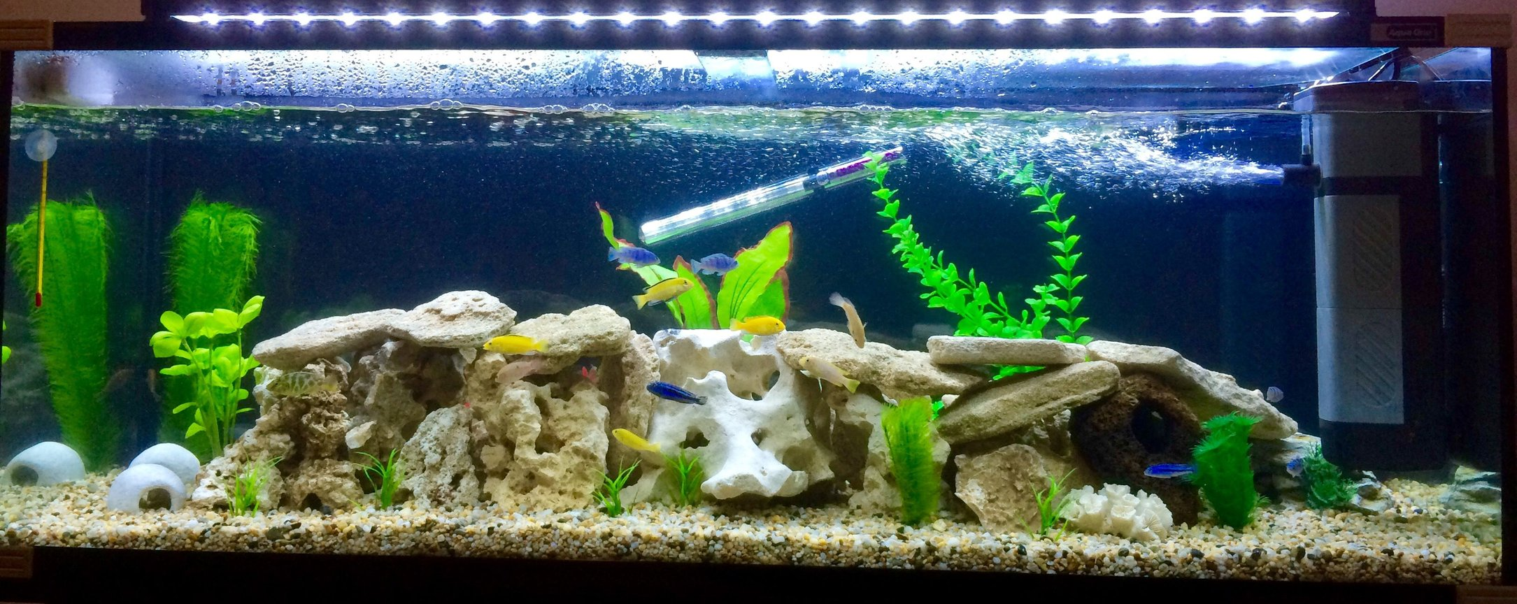 50 gallons freshwater fish tank (mostly fish and non-living decorations) - Cichlids