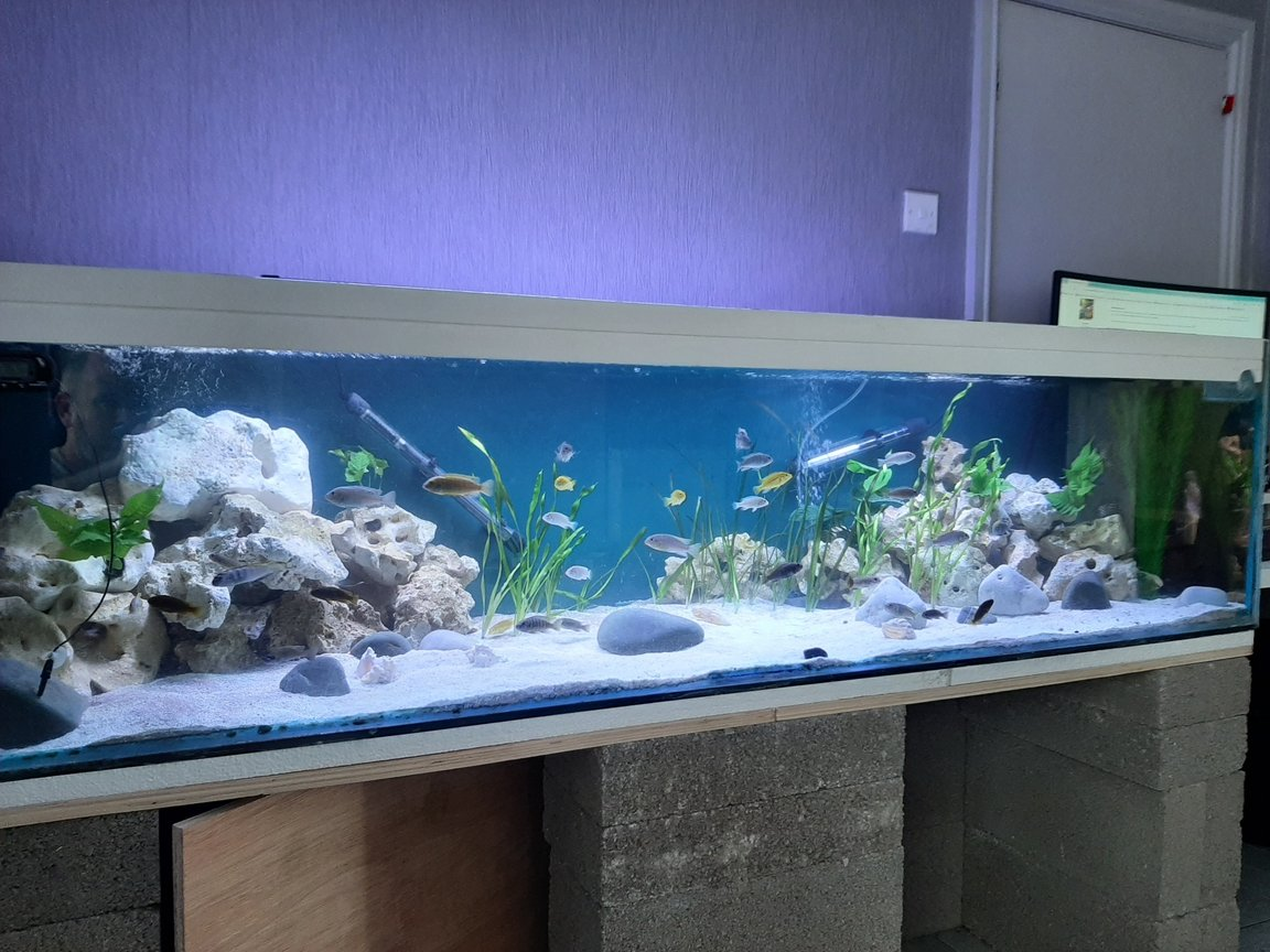 "134 gallons freshwater fish tank (mostly fish and non-living decorations) - Mbuna/Malawi. All fish are still sub adult, ranging from 1.5"" upto 3"""