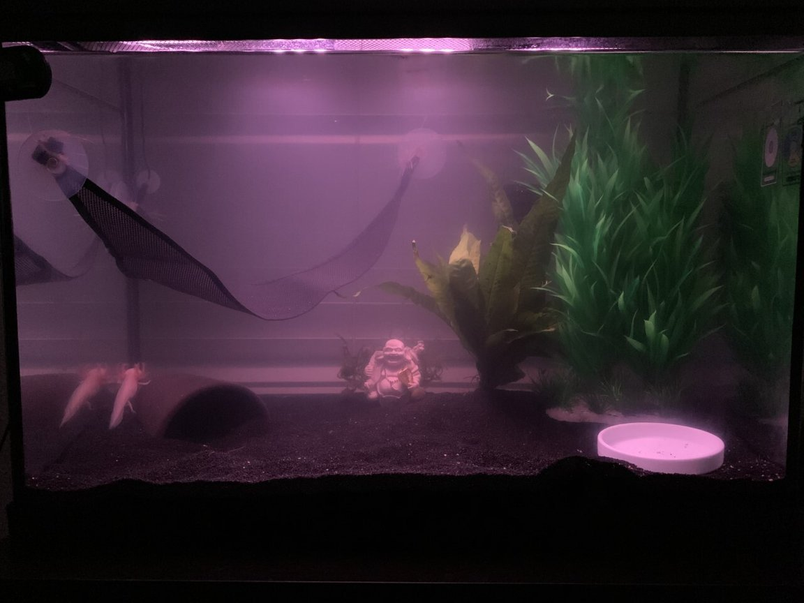 20 gallons freshwater fish tank (mostly fish and non-living decorations) - axolotl tank