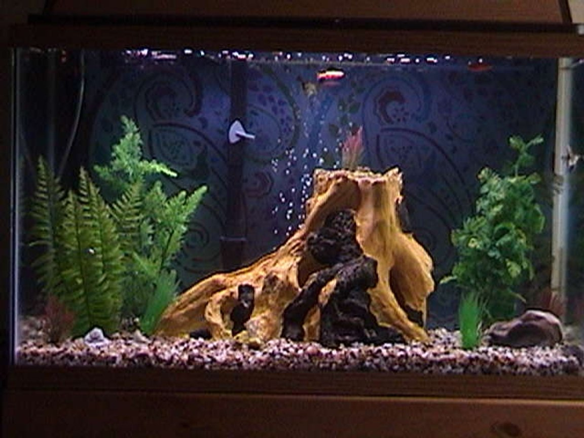 75 gallons freshwater fish tank (mostly fish and non-living decorations) - 29g- 2 Angelfish 2 Mollys 1 Cory 1 Pleco 3 Glo Fish