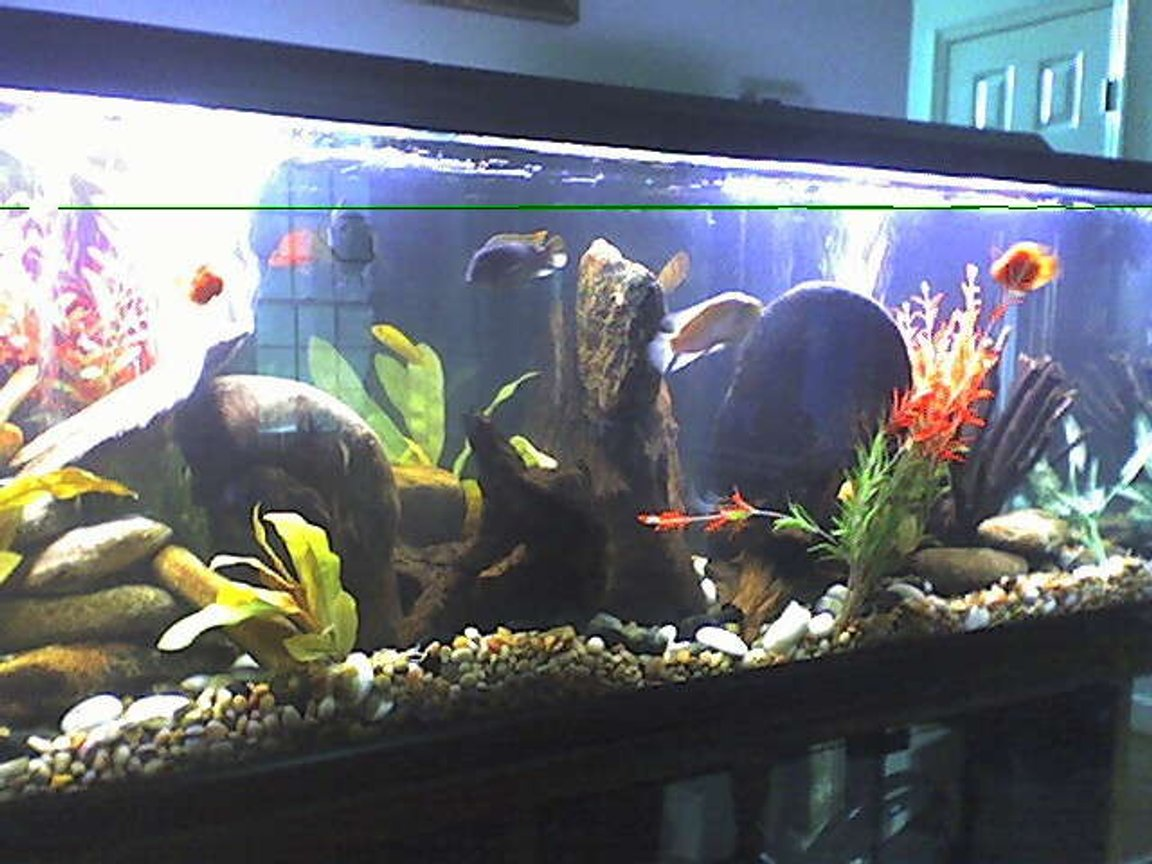 125 gallons freshwater fish tank (mostly fish and non-living decorations) - NEW PIC OF CICHLID TANK