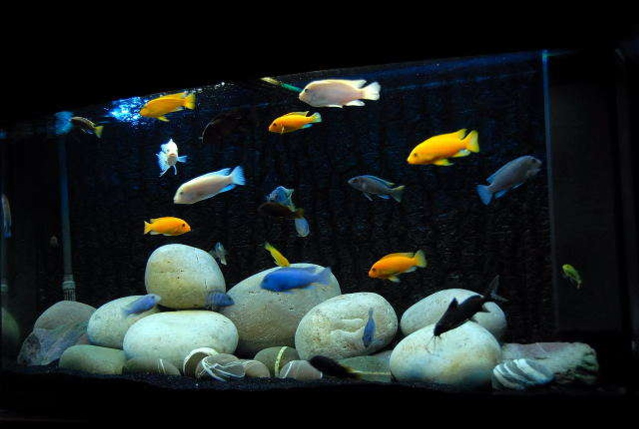 64 gallons freshwater fish tank (mostly fish and non-living decorations) - Vision 260L Malawi Cichlid tank. Cobalt Blues/Maylandia callianos Ice White/maylandia callianos Red Zebras lab Trevawasae Acei White Top Zebra Crabro Syno Multipunctatus L100 yellow Labs