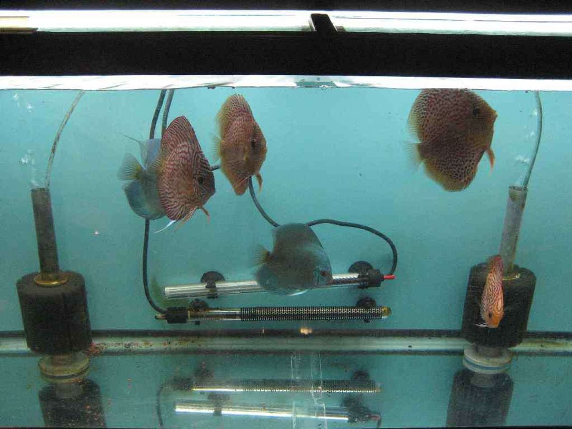 40 gallons freshwater fish tank (mostly fish and non-living decorations) - grow out tamk