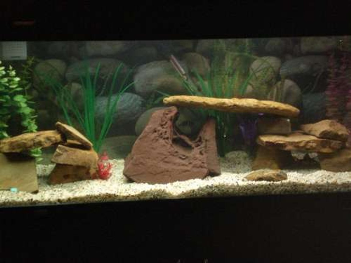 75 gallons freshwater fish tank (mostly fish and non-living decorations) - My community tank