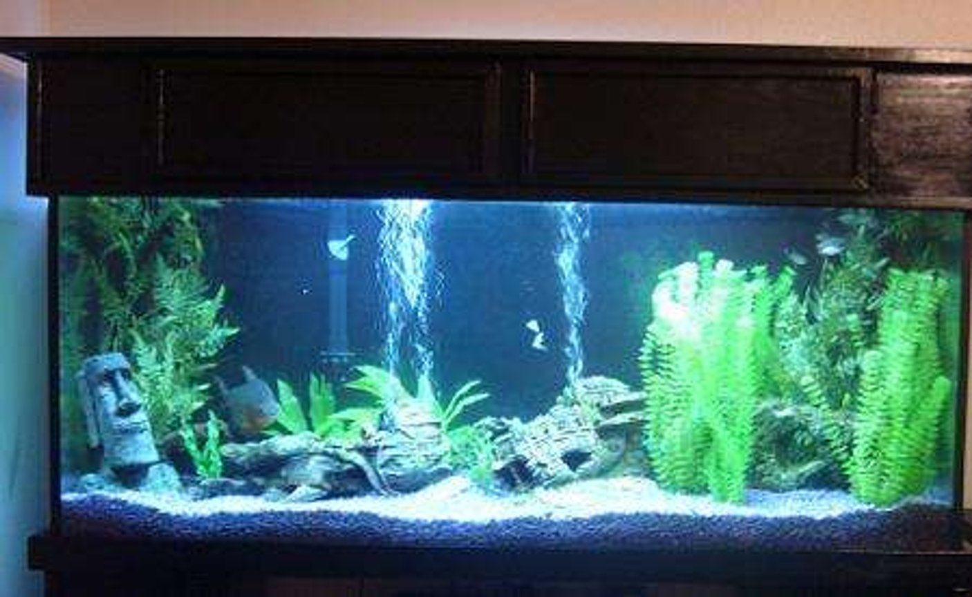 "125 gallons freshwater fish tank (mostly fish and non-living decorations) - 72"" x 18"" x 24"" ; Coralife lighting system, Canister Filter plus 1 Emperor 400; 2 PowerHeads attached to undergravel Filtration System; 2 x 150W Heaters Pacu, Bala Sharks, a very large Pleco, and some mollies for space fillers"