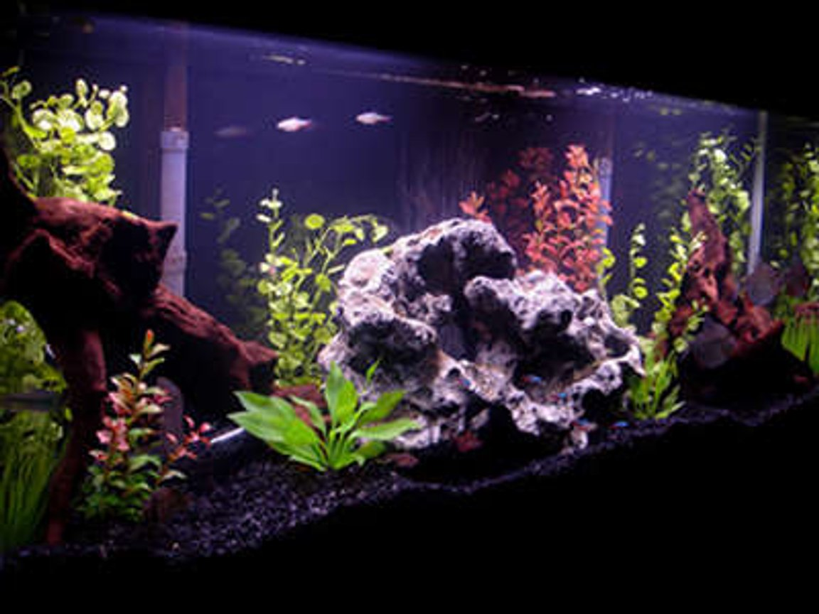 55 gallons freshwater fish tank (mostly fish and non-living decorations) - My 55 Gallon Tank