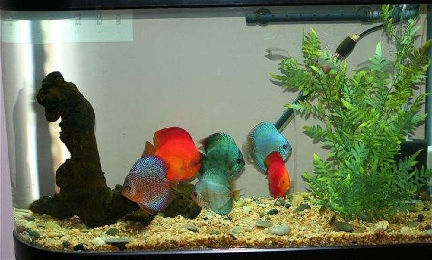75 gallons freshwater fish tank (mostly fish and non-living decorations) - Discus Tank - 60gal