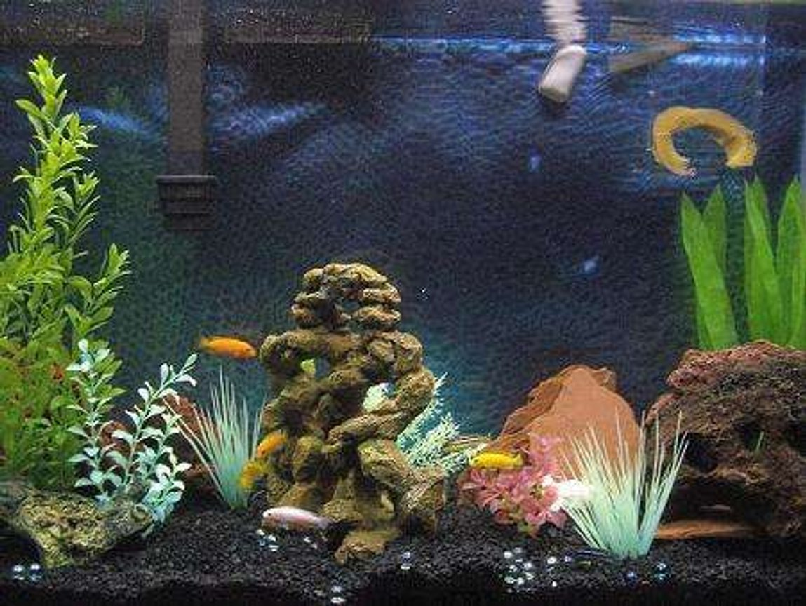 47 gallons freshwater fish tank (mostly fish and non-living decorations) - My first african cichlid tank.